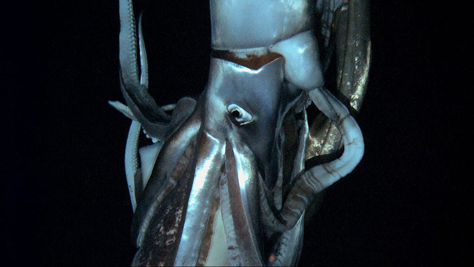 Japan Giant Squid