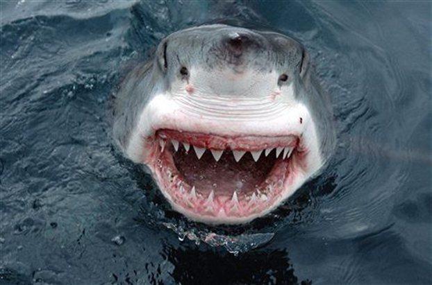 shark-white
