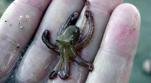 worlds-smallest-octopus