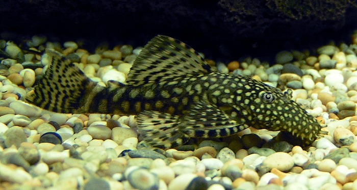 Bristlenose_Catfish_700