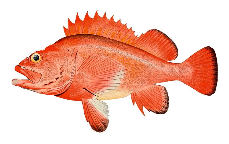 Red_rockfish