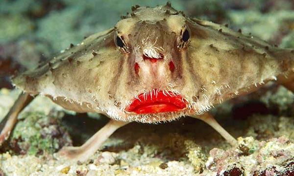 batfish6
