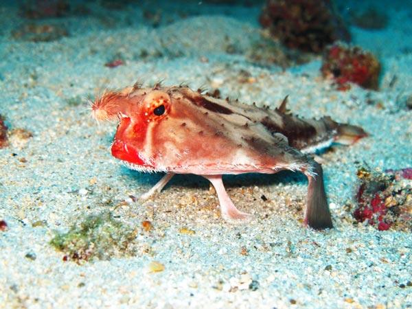 batfish7