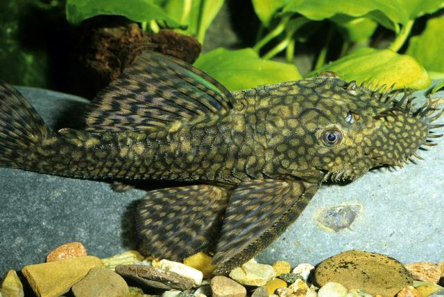 kastoria-fish
