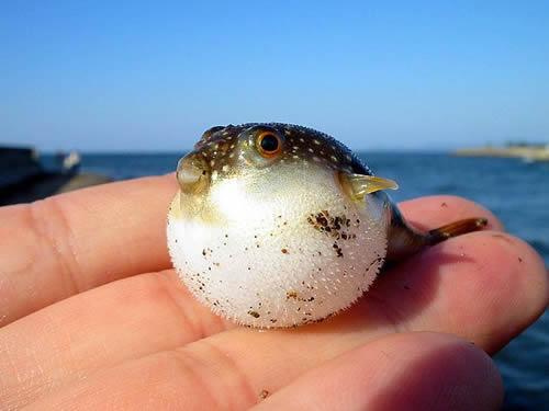 baby-puffer-fish
