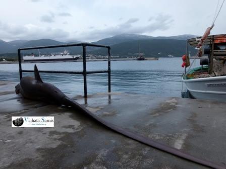 sami-shark