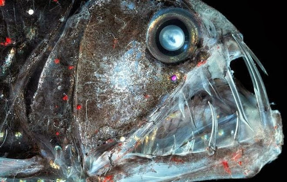 viperfishm