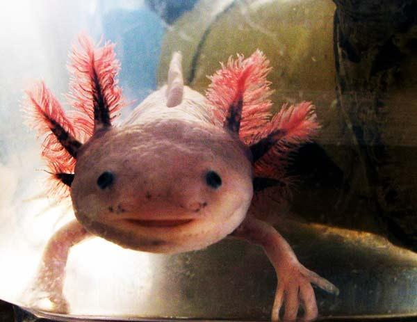 axolotlus4
