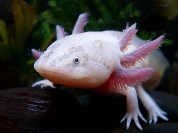 axolotlus5