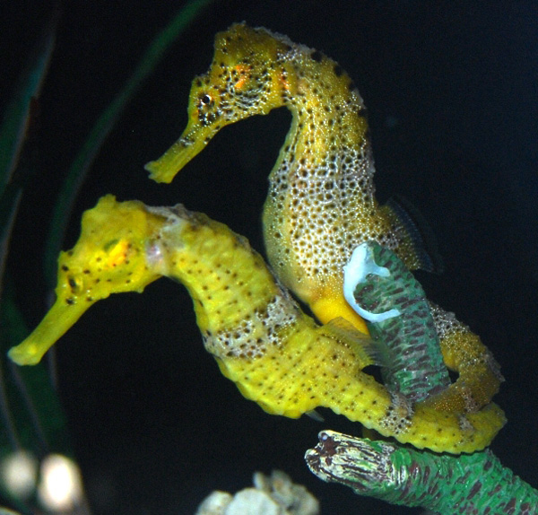 seahorse3