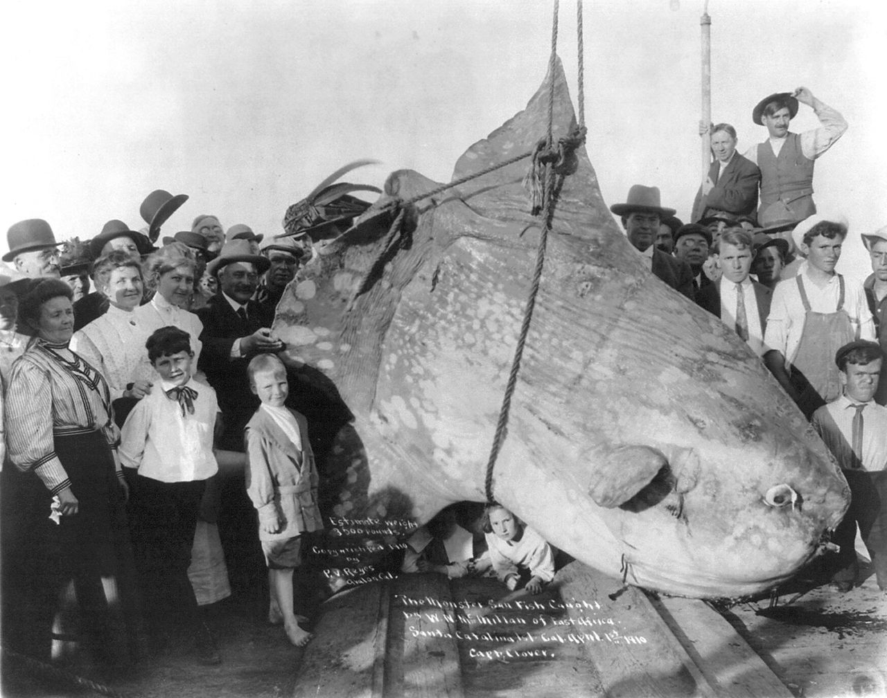 A sunfish caught in 1910, with an estimated weight of 1600 kg (3500 lb)